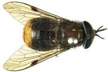 Fly beyoncae, named after Beyoncé